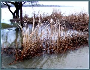 Cattail Reeds